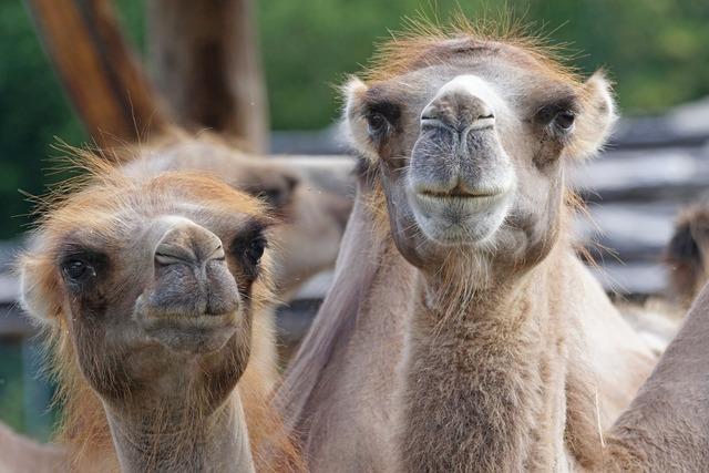 Camel paarhufer calluses ohler.