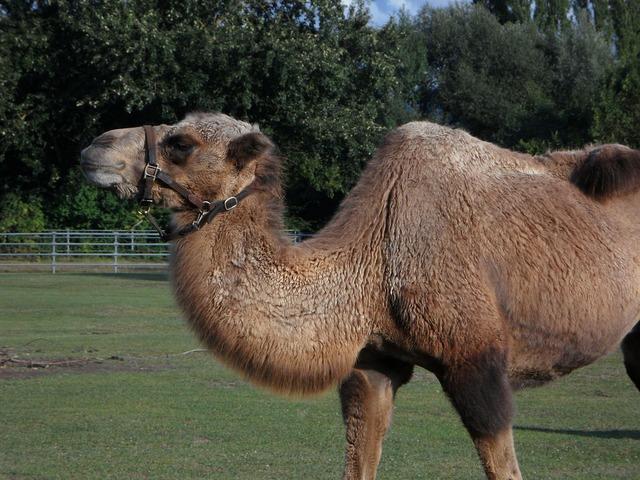 Camel zoo tiergarten.
