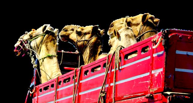 Camels truck heads, transportation traffic.