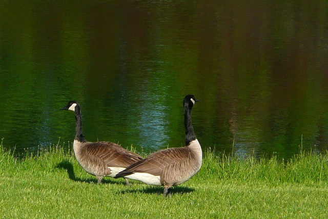 Canada geese goose canadian, animals.
