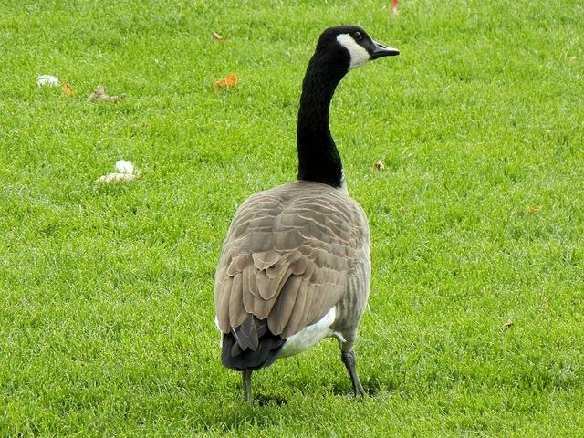 Canada geese goose ontario.
