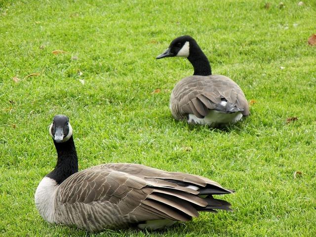 Canada geese pair birds.