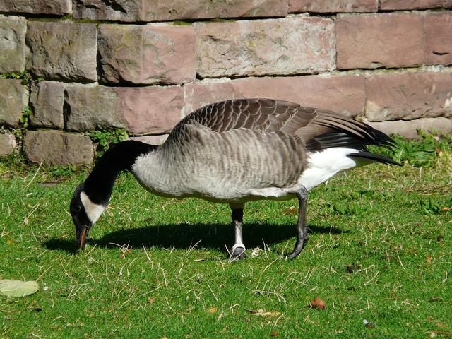 Canada goose branta canadensis goose, animals.