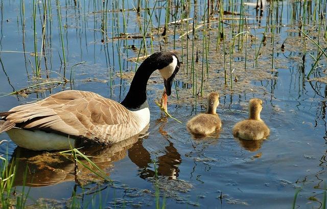 Canada goose branta canadensis swan, animals.