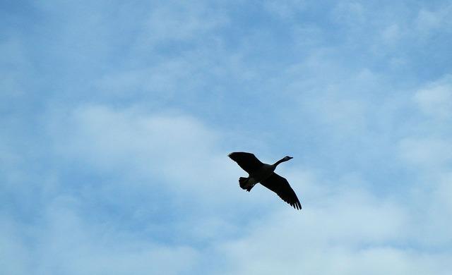 Canada goose flight.