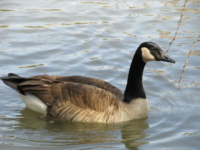 Canada goose swimming goose canadian goose, animals.
