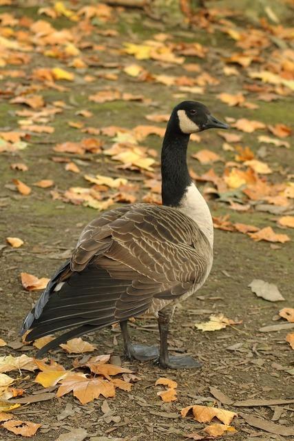 Canada goose wild goose water bird, animals.