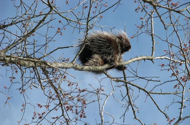 Canada porcupine north american porcupine common porcupine.