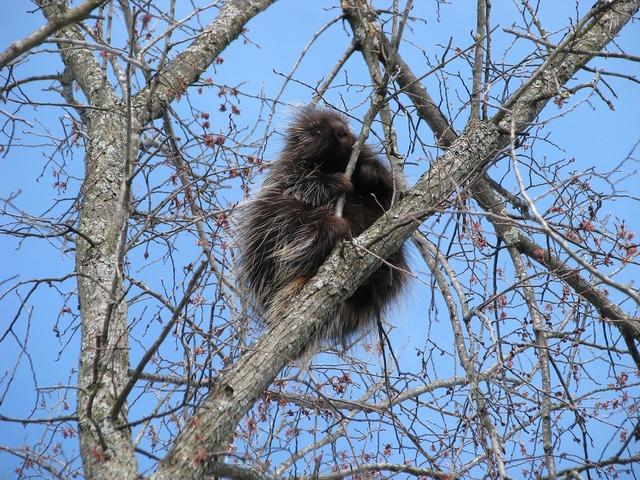 Canada porcupine north american porcupine erethizon dorsatum.