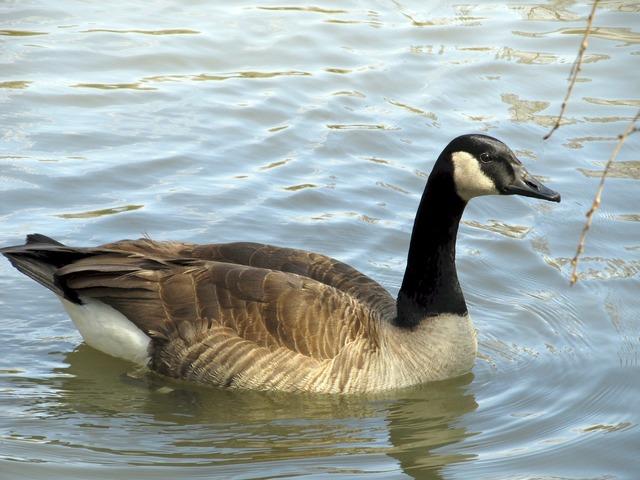 Canadian goose swimming lake, animals.