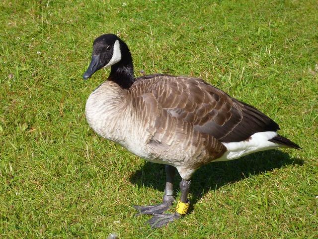 Canadian goose water bird animal world, nature landscapes.