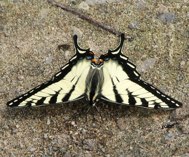 Canadian tiger swallowtail papilio canadensis butterfly.