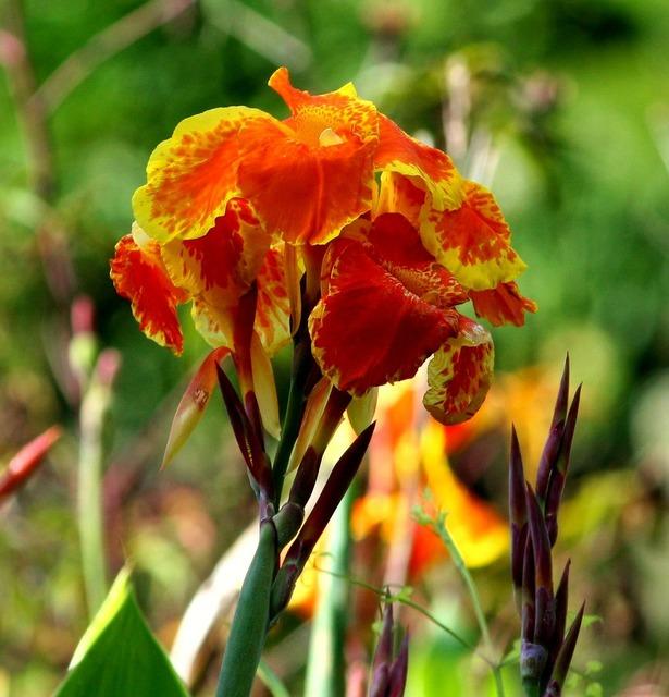 Canna lily flowers orange, nature landscapes.