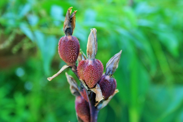Canna seeds red-brown, nature landscapes.
