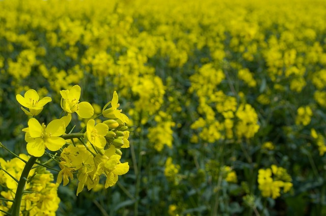 Canola field agriculture, backgrounds textures.