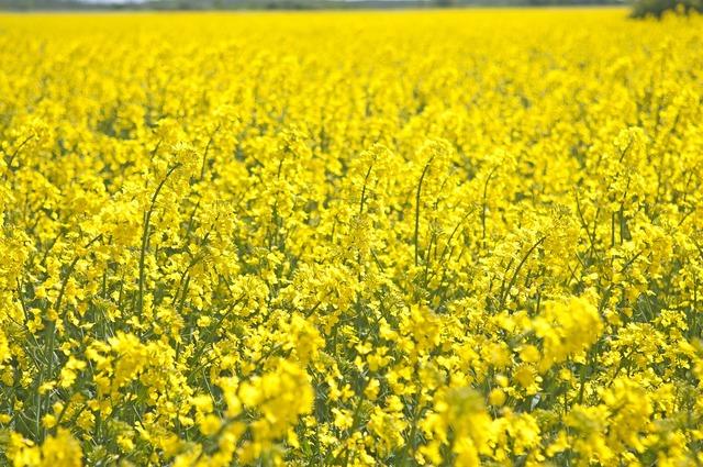 Canola summer field.