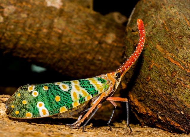Canthigaster cicada fulgoromorpha insect, animals.