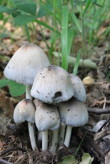 Cap coprinus fungus, nature landscapes.
