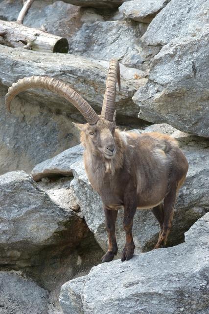 Capricorn ibex alpine, animals.