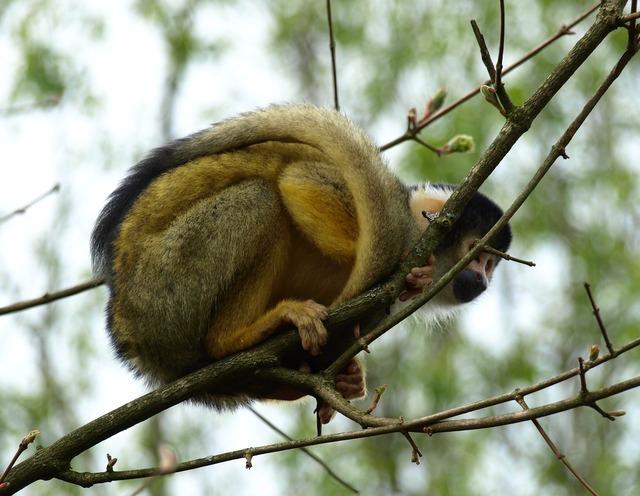 Capuchin capuchins monkey.