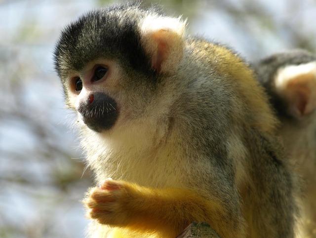 Capuchin capuchins monkey, animals.