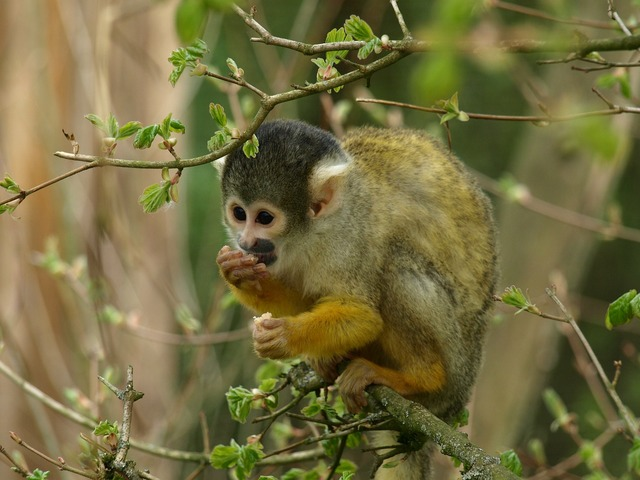 Capuchin monkey animal, animals.