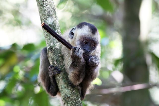 Capuchin monkey feeding primate, animals.