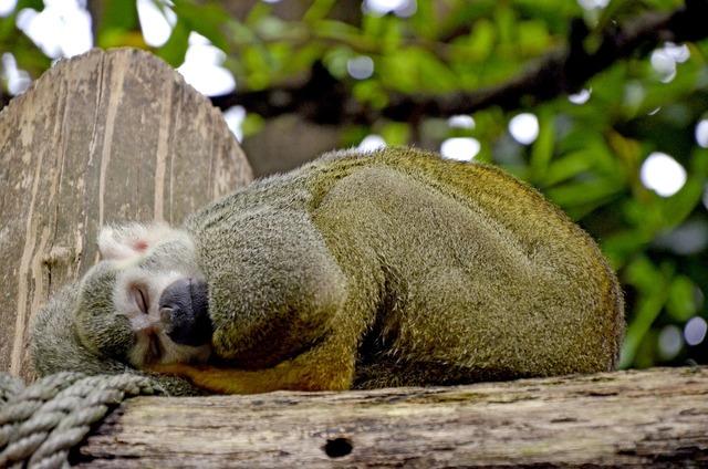Capuchin monkey herr nilson.