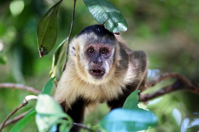 Capuchin monkey looking habitat.