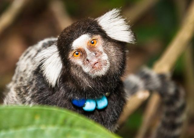 Capuchin monkey monkey mico, nature landscapes.