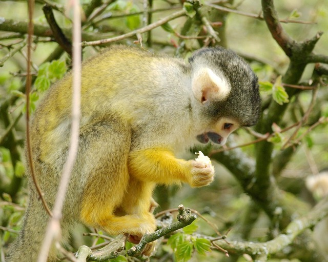 Capuchins monkey capuchin.