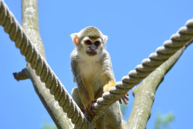 Capuchins monkey herr nilson.