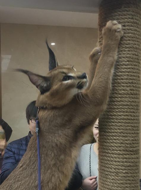 Caracal wild cat cat, animals.