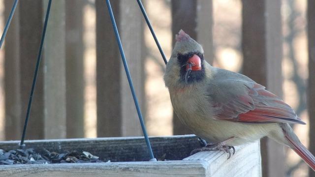 Cardinal nature bird feeder, nature landscapes.
