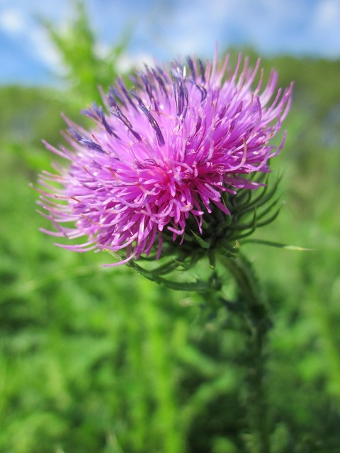 Carduus acanthoides spiny plumeless thistle welted thistle, nature landscapes.