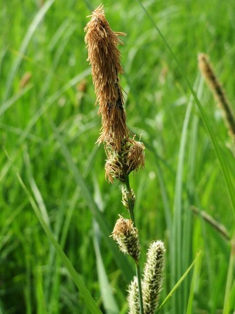 Carex acutiformis lesser pond-sedge wildflower, nature landscapes.