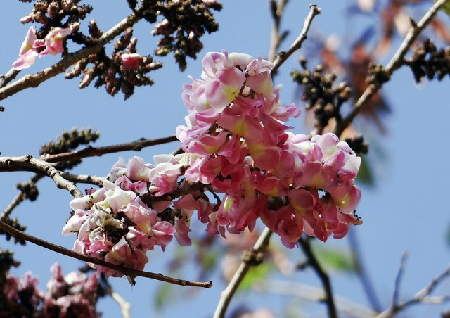 Cassia pink wildflower flower, nature landscapes.