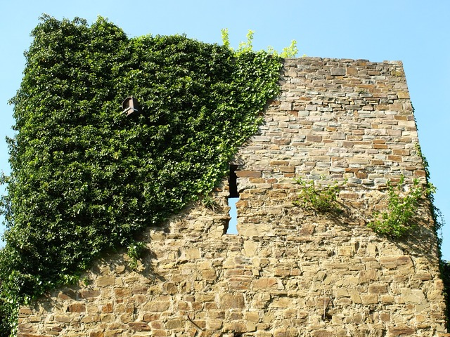 Castle wall city blankenberg ivy.