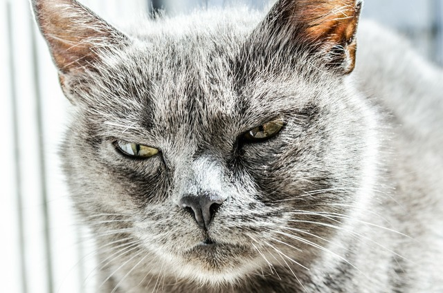 Cat angry unhappy, animals.