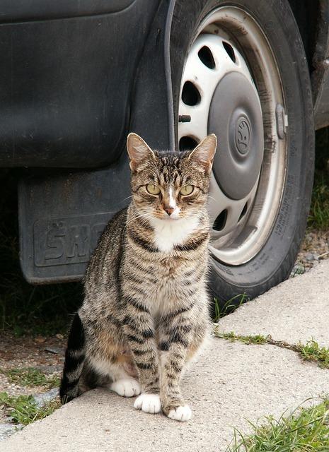 Cat animal auto wheel, animals.
