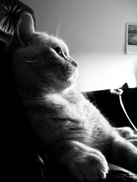 Cat animal british shorthair, animals.
