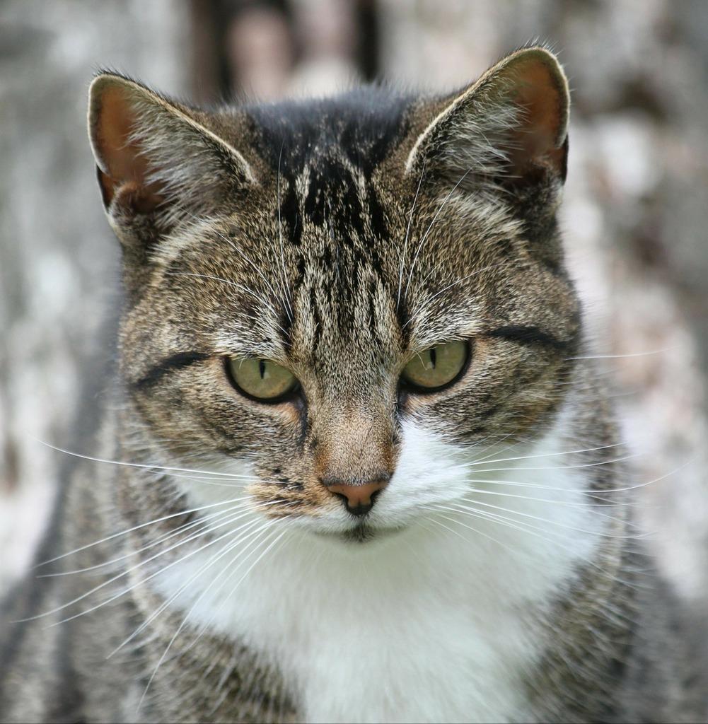 Cat animal pet, animals.