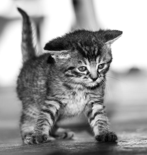 Cat baby black and white sweet, animals.