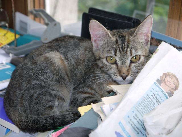 Cat baby grey, animals.