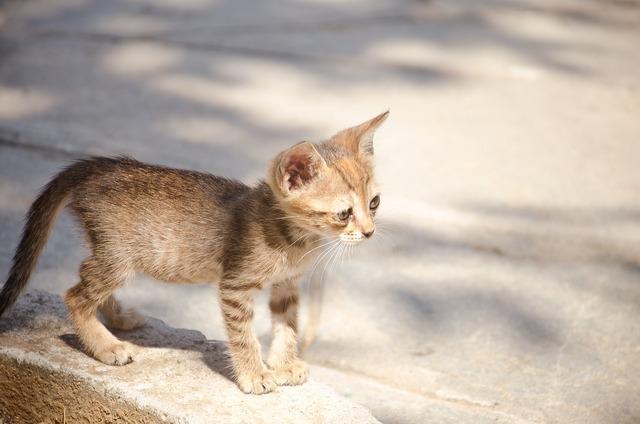 Cat baby kitten, animals.