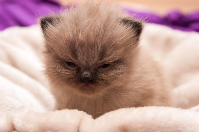 Cat baby persians cat, animals.