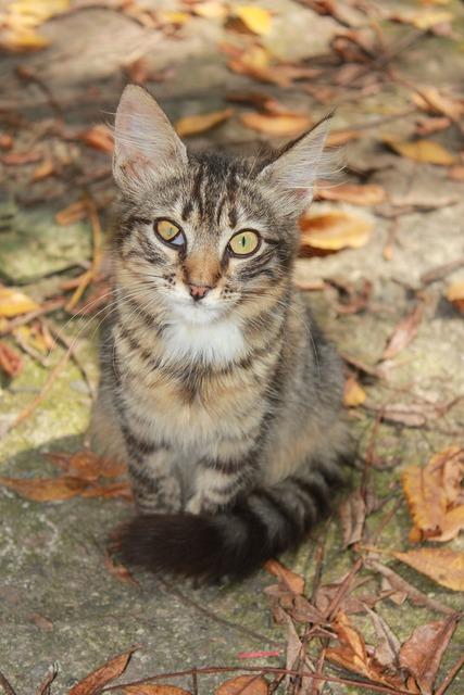 Cat backyard tabby, animals.