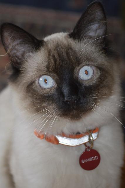 Cat balinese pet, animals.