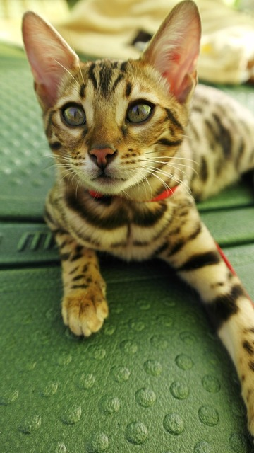 Cat bengal cute, animals.
