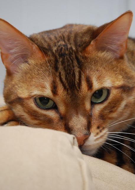 Cat bengal feline, animals.